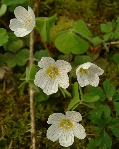 wood sorrel plant in wild common edible plants