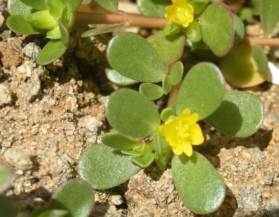 purslane plant in wild common edible plants
