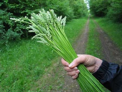 wild Asparagus bunch along dirt road edible plants