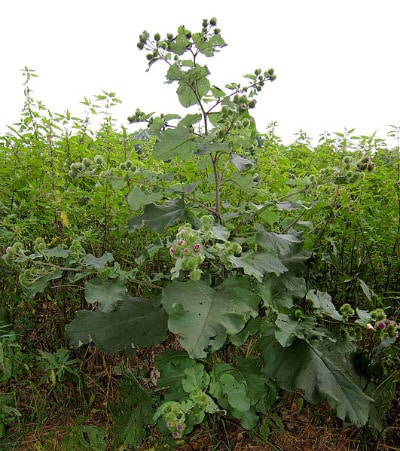 Burdock Arctium lappa common edible plants