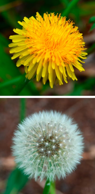 Dandelion plants portrait.
