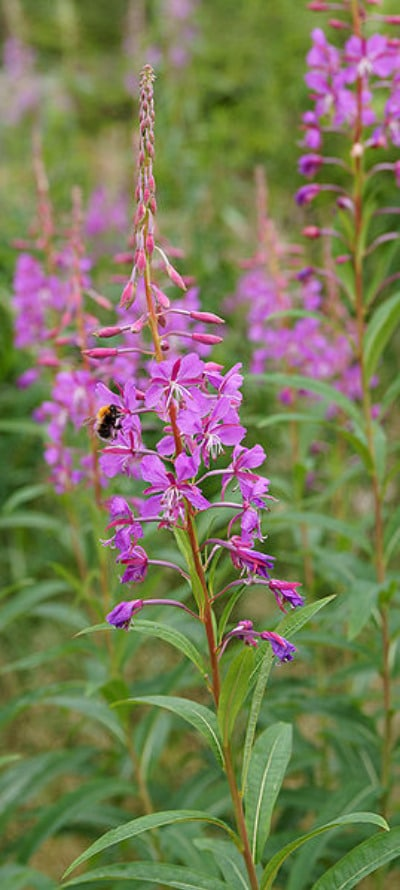 fireweed plant in wild common edible plants