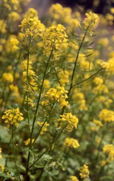 White Mustard plants portrait.