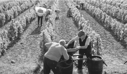 vintage vintners harvesting grapes vineyard for wine