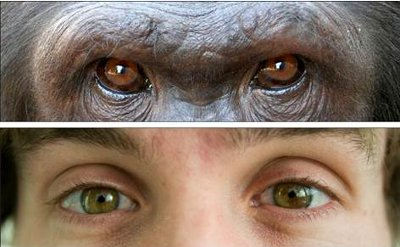 Eyes of a gorilla and human being.