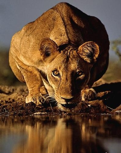 lioness with intense eyes drinking water eye contact