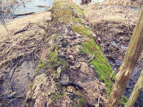 Animal scat on log in the forest.