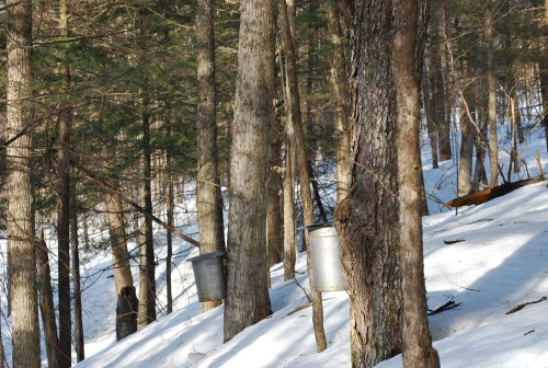 Vermont syrup buckets hanging with tress in woods.