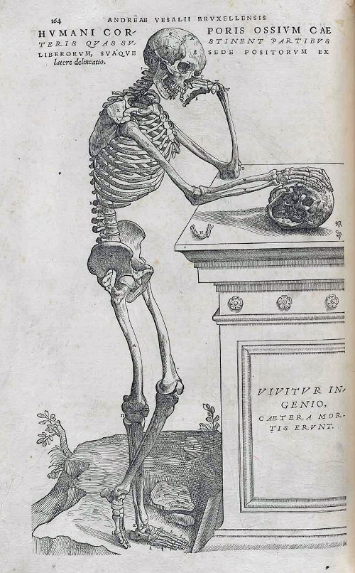 Unnamed skeleton illustration by Andreas Vesalius, 1543.