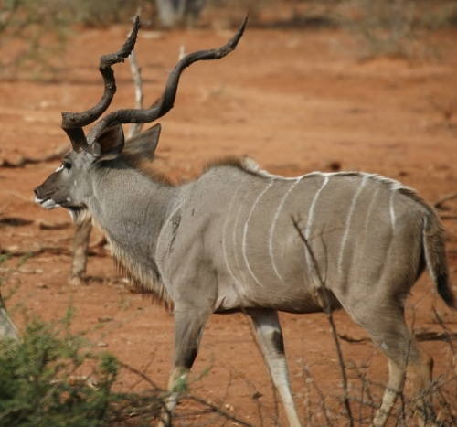 Side view of kudu in forest.