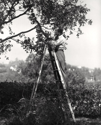 vintage man on ladder pruning tree
