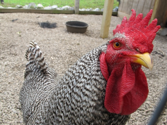 how to raise chickens in your backyard the art of manliness