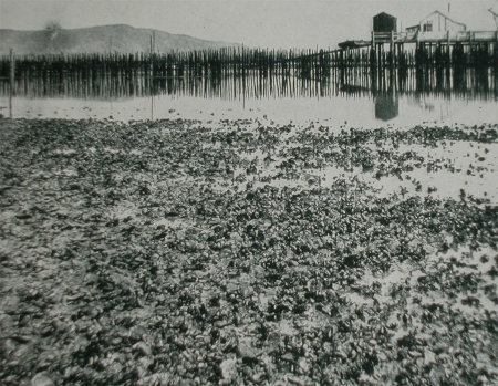 Oyster bed, San Francisco Bay, 1900