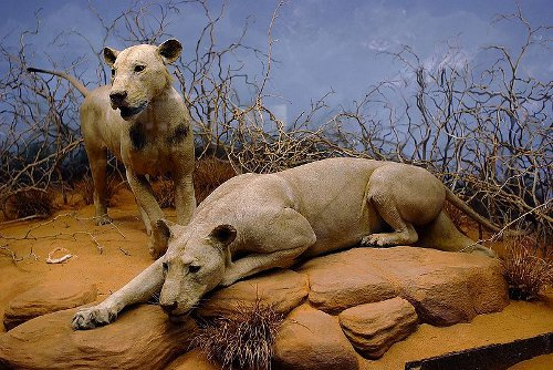 Lions named the ghost and the darkness display in tsavo museum.