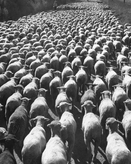 Are You a Sheep or Sheepdog? Part II: 8 Reasons You're Hardwired for Sheepness | The Art of Manliness