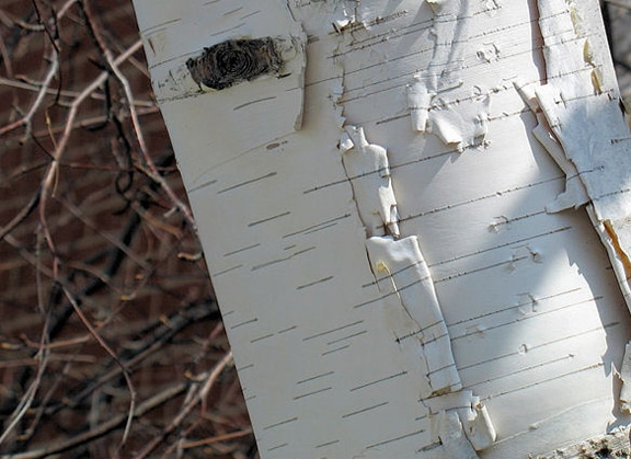 paper white birch tree close up photo of bark