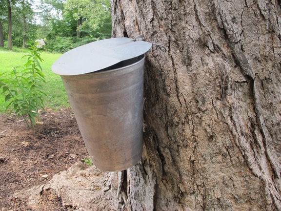 Maple tree tap bucket close up on trunk.