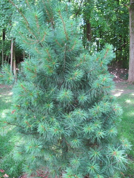 small white pine recognize identify trees
