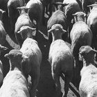 Thumbnail image for Are You a Sheep or Sheepdog? Part II: 8 Reasons You're Hardwired for Sheepness