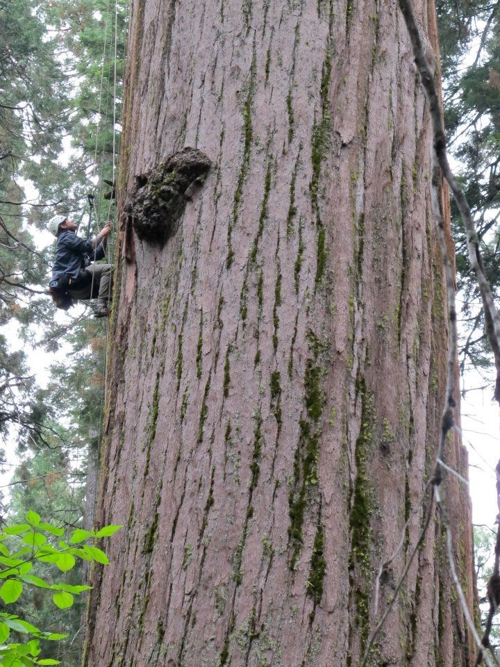 man climbing giant redwood tree