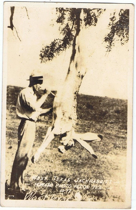 man cutting open giant rabbit hanging from tree