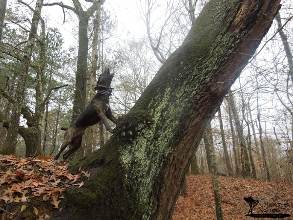 a Mountain Cur, treeing a squirrel on a hunt in Mississippi.