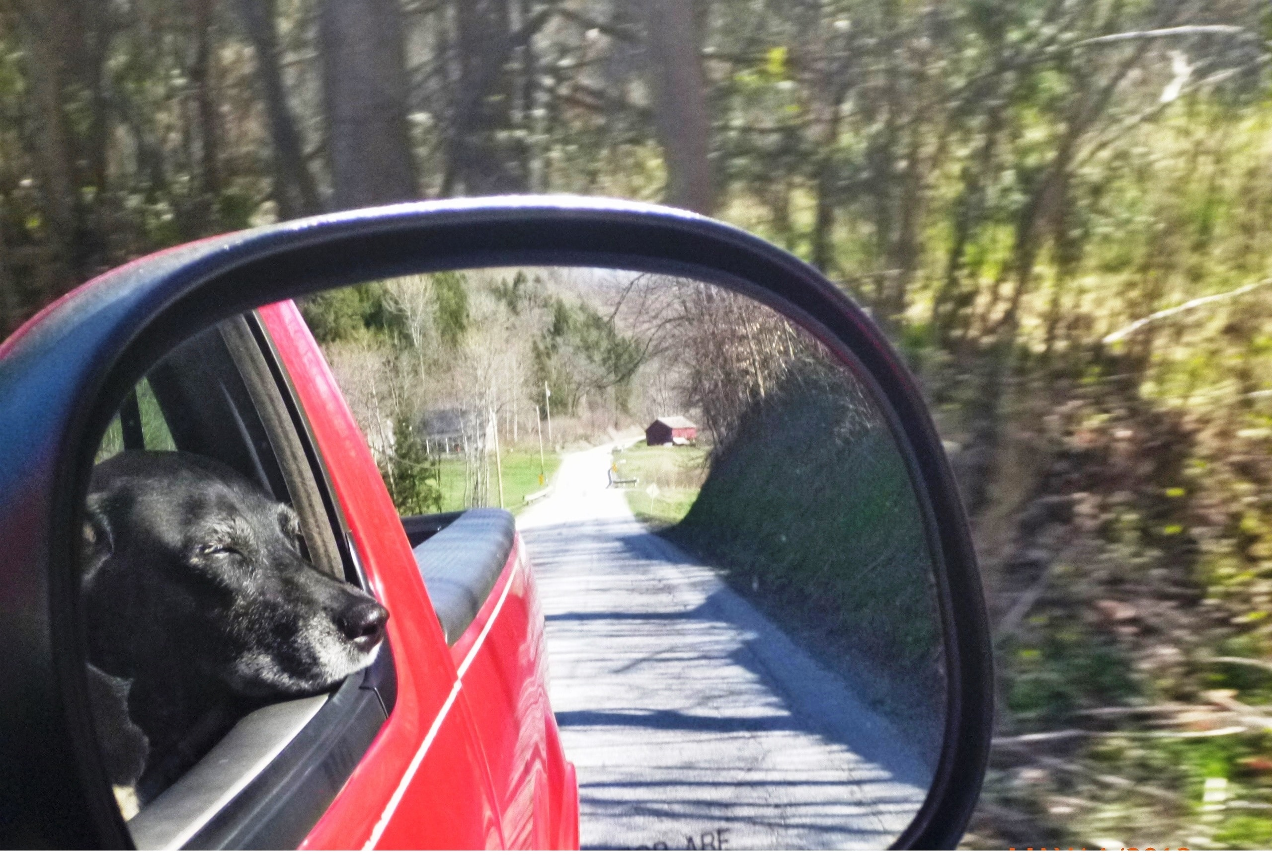 black lab dog in car in rear view mirror
