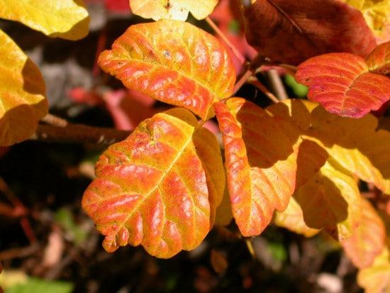 Fresh poison oak orange leaves in fall season.