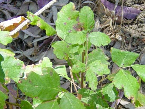Fresh poison oak green leaves.
