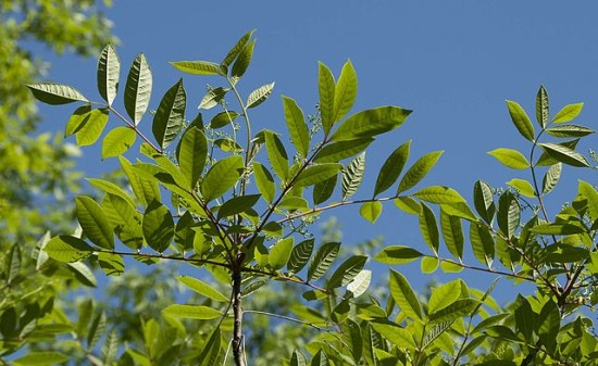poison sumac in the summer green leaves