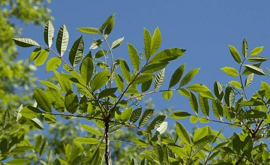Fresh poison sumac green leaves.