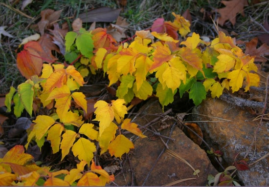 Poison ivy in fall season.