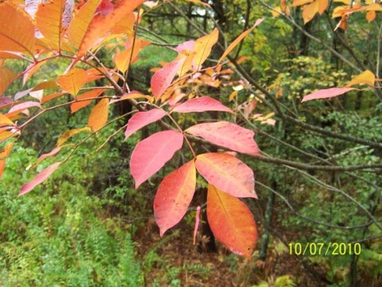 Fresh poison sumac red leaves in fall seson.