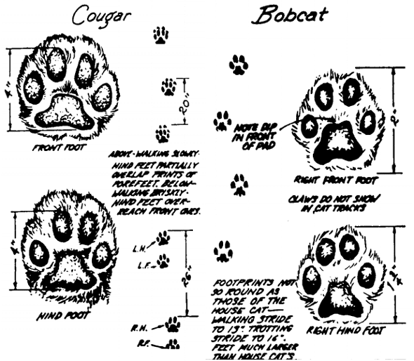 How to Identify and Track Animal Footprints | The Art of Manliness