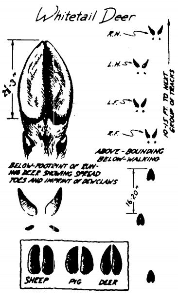 whitetail deer footprints identify animal tracks illustration