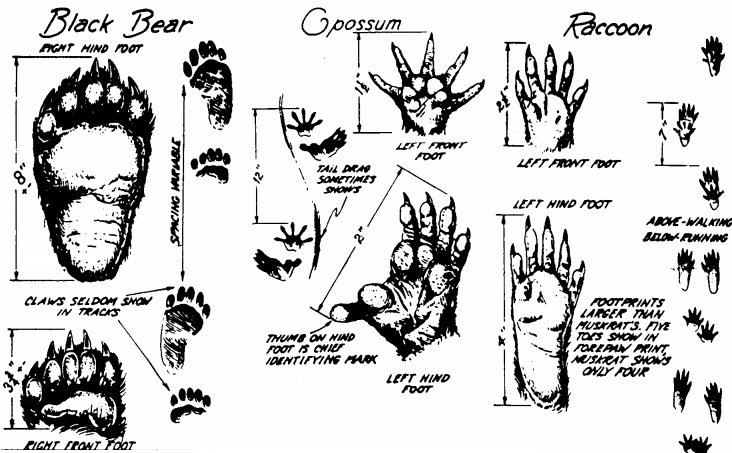 identify animal tracks illustration bear opossum raccoon