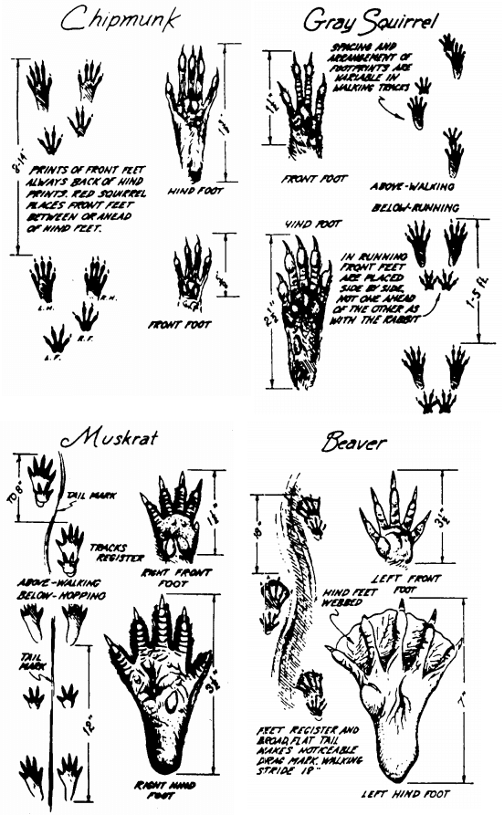 How to identify chipmunk, squirrel, muskrat and beaver tracks illustration.