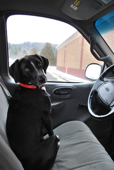 Young black lab in cab of truck.
