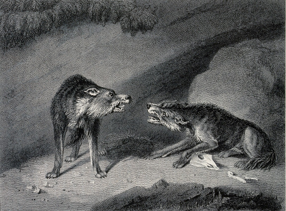 wolves fighting baring teeth illustration painting