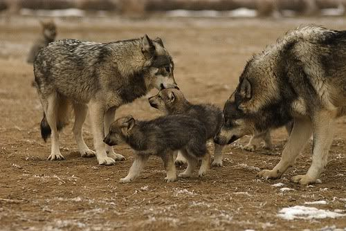 wolf family wolves caring for pups