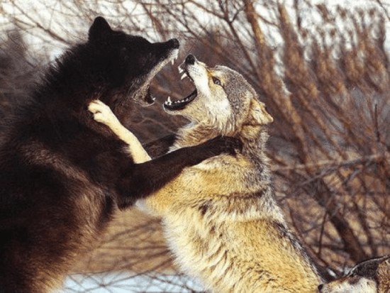 wolves fighting baring teeth in wild