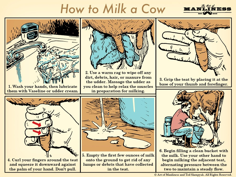 How to milk a cow Step by step illustration diagram.