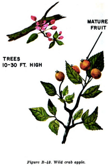 wild crap apple illustration edible plants