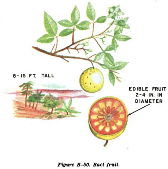 bael fruit illustration edible plants
