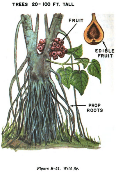 wild fig illustration edible plants