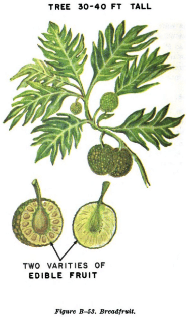 breadfruit illustration edible plants