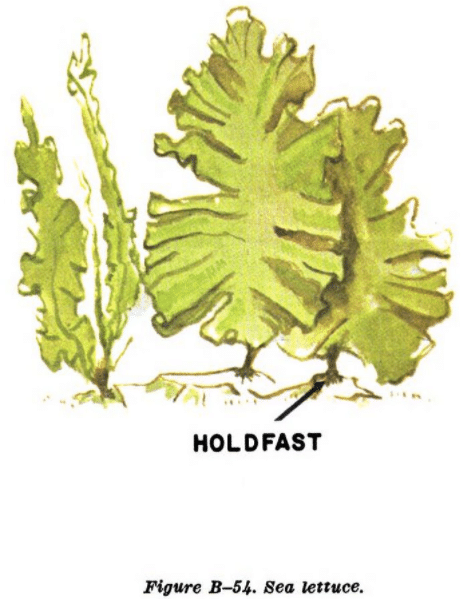 green seaweed illustration edible plants