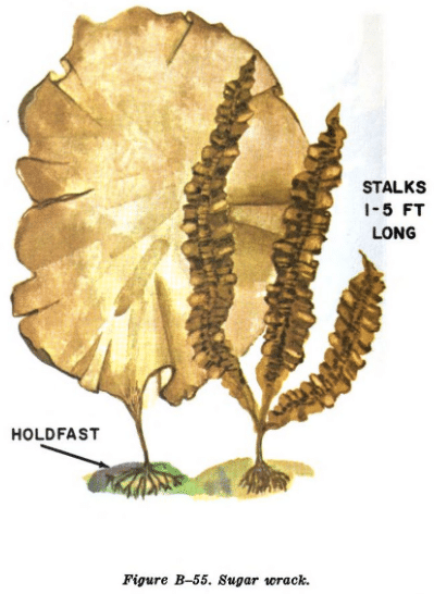 sugar wrack seaweed illustration edible plants