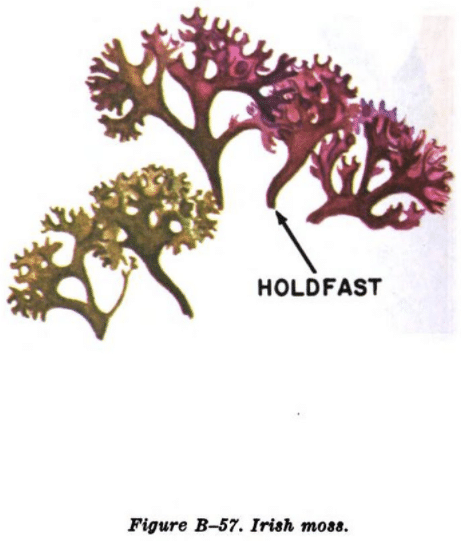 irish moss illustration edible plants