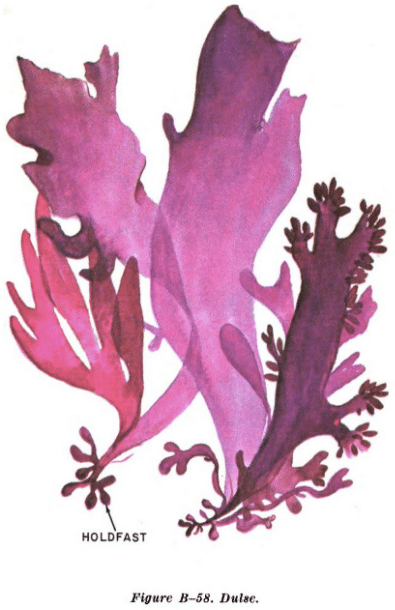 dulse seaweed illustration edible plants